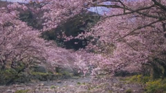Night Cherry Blossom - Kim Bo Kyung
